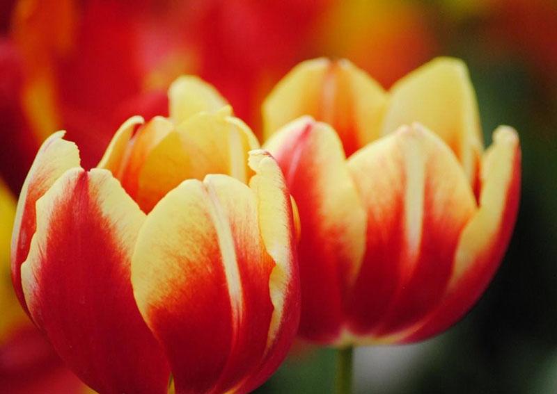 郁金香的传说和郁金香名字的由